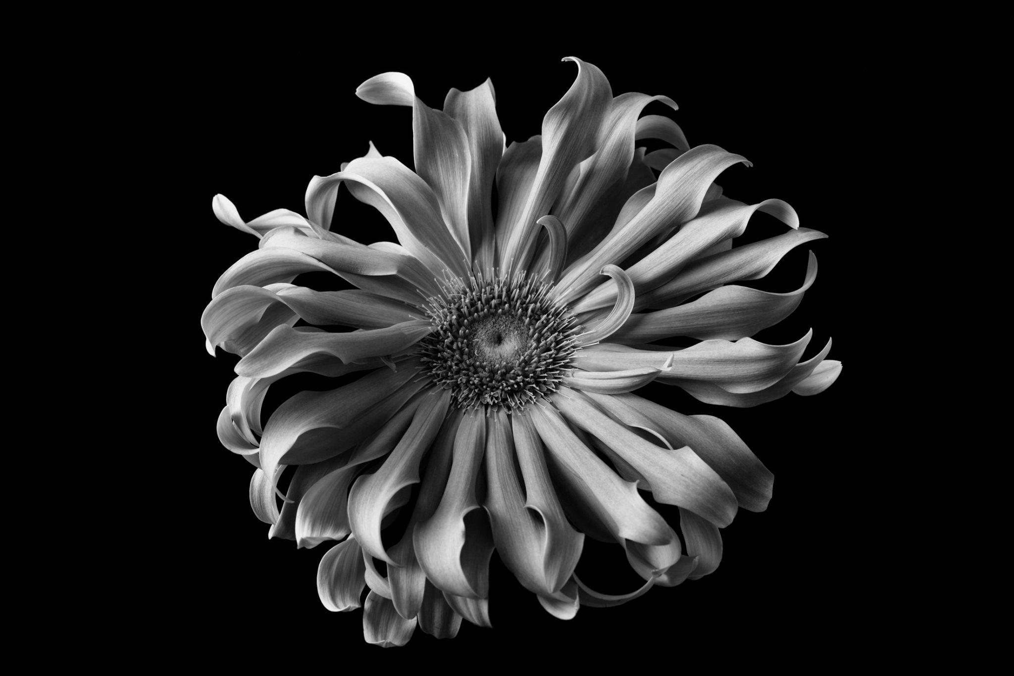 Monochrome Gerbera
