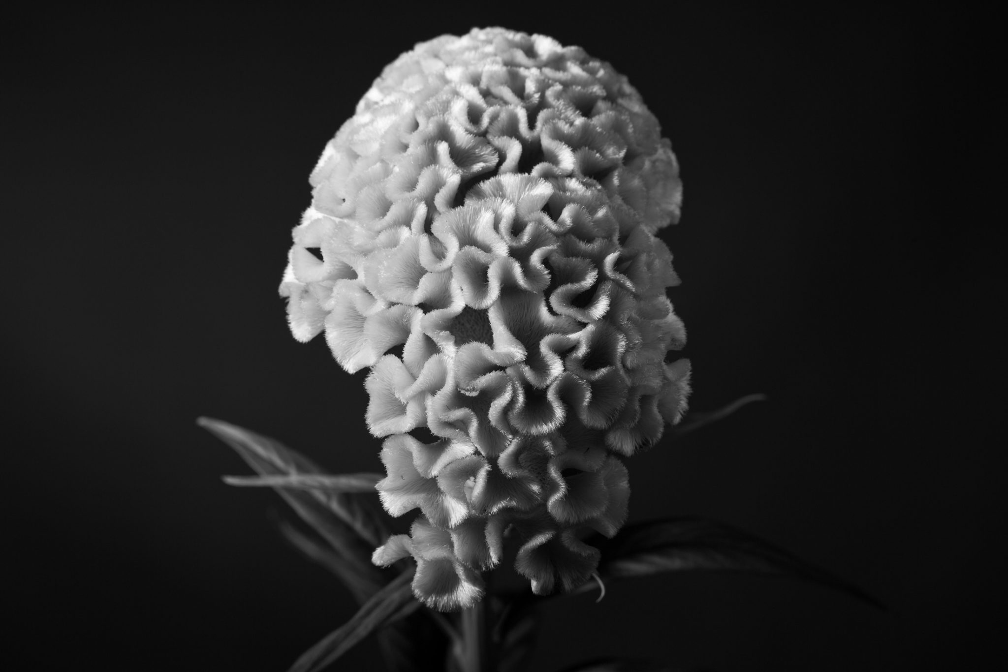 Monochrome Cockscomb Flower