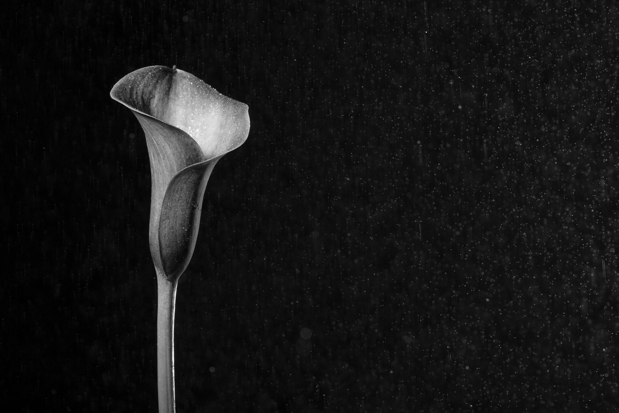 Monochrome Calla Lily