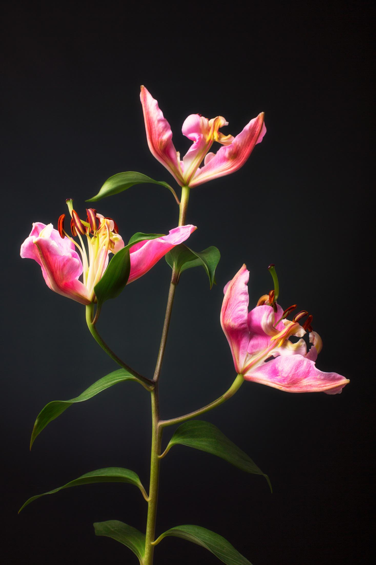 Lilium Orientalis ´Pink Cariba´