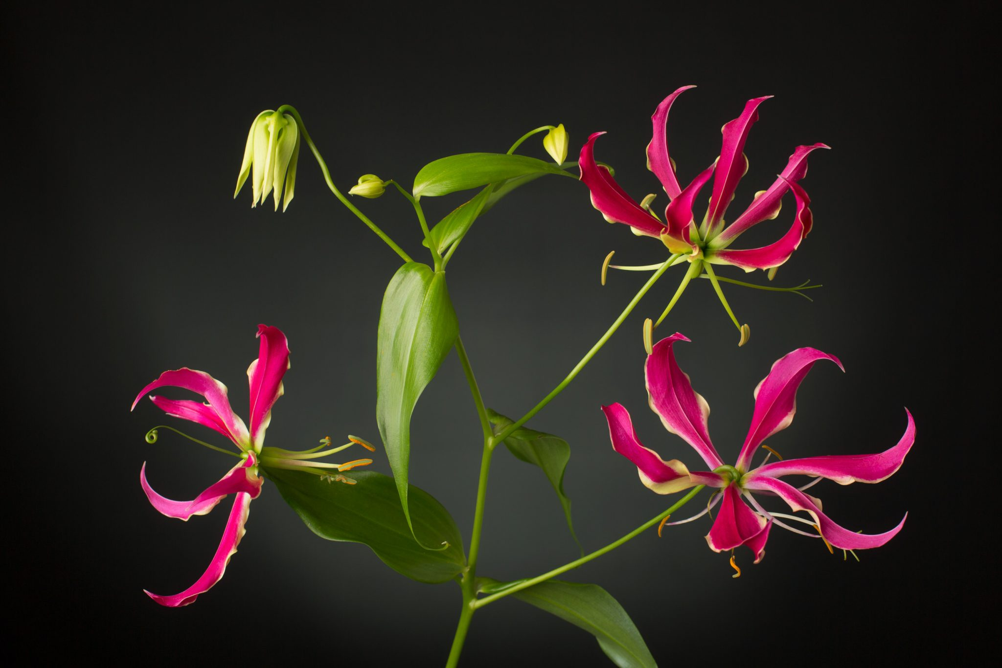 Flame Lily