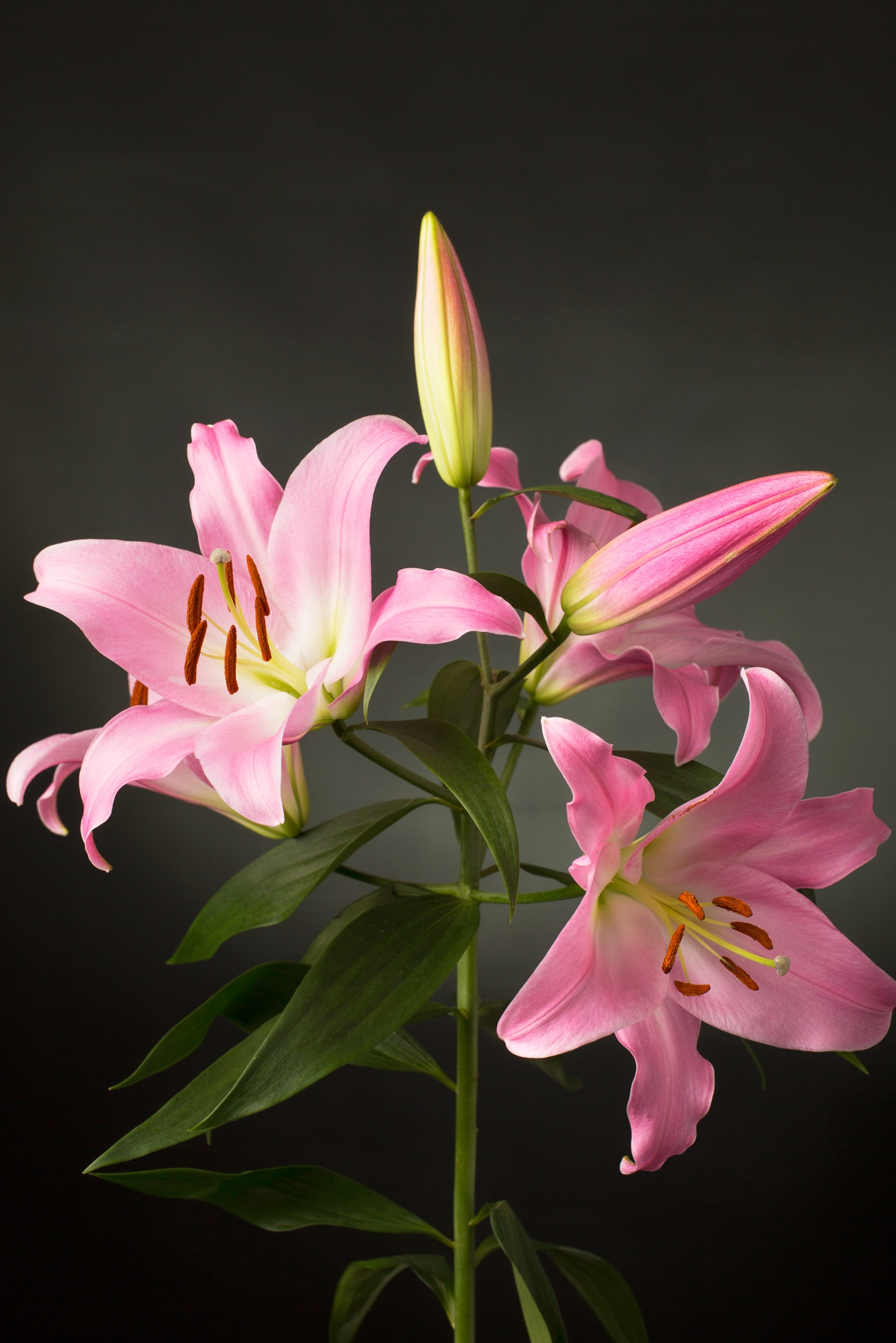 Pink Lilium Orientalis